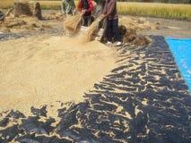 Trebbiatura della risaia Fotografia Stock Libera da Diritti