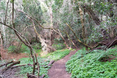 Trecking path in the laurel wood, gomera Royalty Free Stock Photography