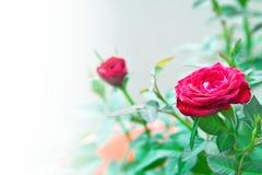 tred的背景微型玫瑰 免版税库存照片