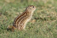 Tredici hanno allineato lo scoiattolo a terra in prateria Immagini Stock
