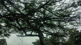 Tree - árbol. Big tree with green leafs stock photography