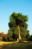 Tree 01. This photo of tree was taken at Cambodia\'s small angkor wat Stock Photo