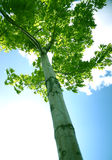 Tree. Tall tree reaching to the blue sky stock image
