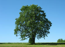 Tree 1. Beautiful tree with clear sky as background Royalty Free Stock Image