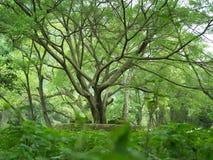 Tree. The china yangshuo Riverside Banyan royalty free stock images