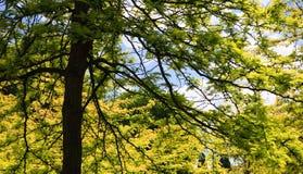 Tree. View into a lush green maple tree Stock Photos