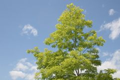 Tree. A naturally brilliant green tree on a clear blue sky background Stock Image