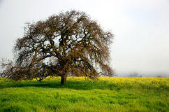 Tree. Lone oak tree in a mustard field Stock Image