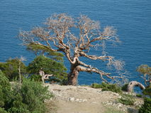 Tree. Crimea in Ukraine. Summer 2009 Stock Photography