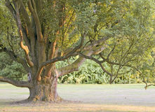 Tree. Detail of giant tree with branches Royalty Free Stock Photography