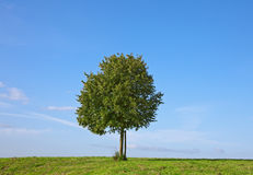 Tree. This image shows a green tree in summer stock image