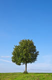 Tree. This image shows a green tree in summer royalty free stock photography