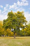 Tree. One wonderful autumn tree on a background autumn natures Royalty Free Stock Photo