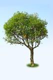 Tree. Close up of leafy Linden tree, isolated on white background Stock Photo