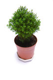 Tree. Isolated green tree in pot Royalty Free Stock Photo