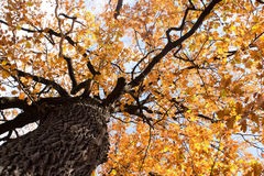 Tree. Big old autumn elm tree in fall park Stock Images
