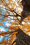 Tree. Big old autumn elm tree in fall park Royalty Free Stock Image