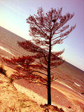 A tree. Alone tree in the dune Royalty Free Stock Photos