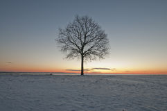 Tree. A lone tree just before sunrise Stock Images