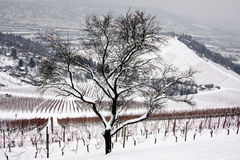 Tree. In the wine region on winter day Royalty Free Stock Photo