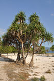 Tree. On the beach, Gili Travangan, Indonesia Stock Photography