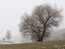 Tree. In the wine region on winter day Royalty Free Stock Image