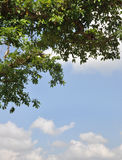 Tree. Fruits tree leaves against lovely clouds background Stock Image