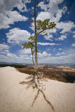 Tree. Old tree looking over Bryce Canyon, USA Royalty Free Stock Image