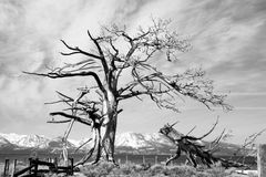 Tree. Haunting image of black and white image of a dead and broken tree with the Sierra Nevada mountains in the background and a cloudy sky Stock Image