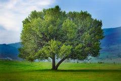 Tree. Single spring tree; meadow landscape Royalty Free Stock Photos
