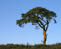 Tree. Lone tree on Priddy Moor in England royalty free stock photography