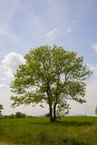 Tree. Green tree on a green meadow Stock Photos