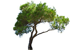 Tree. Exotic tree isolated on white Royalty Free Stock Photography