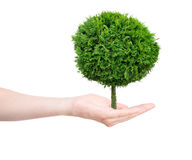 Tree. In human hands on light background Stock Photos