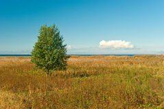 Tree. Lonely tree in meadow with sea on background Stock Images