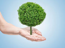Tree. In human hands on light background Royalty Free Stock Photography