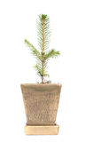 Tree. A tree in flowerpot, isolated on white Stock Photos