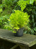 Tree 2. Green Selaginella in pot on wood bench Royalty Free Stock Image
