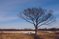 Tree 2. An isolated tree on a sunny winter morning royalty free stock photos