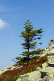Tree. Loner in the stone slope Royalty Free Stock Photography