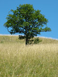 A tree. Lonely tree. Only tree on hill without trees stock photos