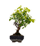 Tree. Small bonsai tree with white background Royalty Free Stock Photos