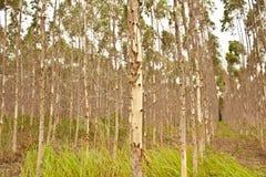 Tree. Eucalyptus trees used to make paper Stock Photos