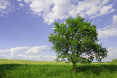 Tree. Big and green tree on the meadow Royalty Free Stock Photo