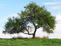 Tree. A single tree in a meadow Stock Photos