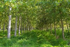 Tree. Plantation of poplars, in-line typical of northern Italy Stock Photos