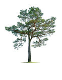 Tree Royalty Free Stock Image