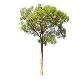 Tree. Royaltyfri Bild