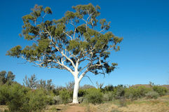 Tree. One of the biggest Ghost Gum Tree in Australia Stock Image