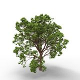 Tree. This is a 3d illustration of a tree Royalty Free Stock Photos